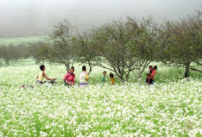 Cánh đồng hoa cải trắng tinh khôi trên cao nguyên Mộc Châu