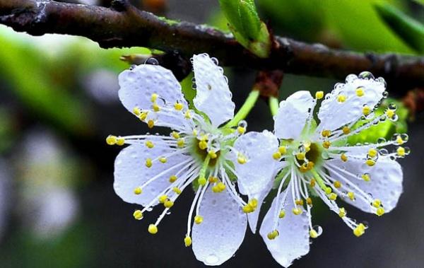 Bông hoa mận trắng tinh khiết trên cành