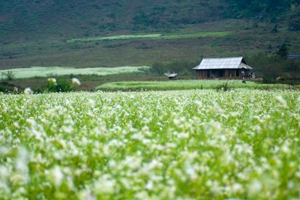 Hoa cải ở Mộc Châu mọc thành từng cánh đồng