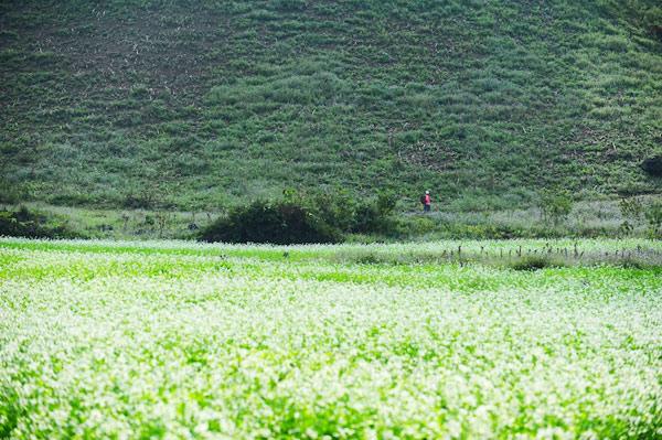 Hoa cải mọc bên triền núi