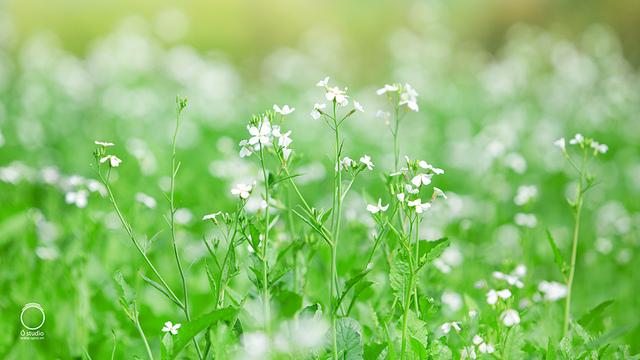 Bông hoa cải trắng tinh khôi