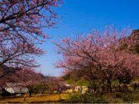 Mùa hoa đào ở Mai Châu