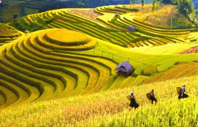 Lúa chín vàng trên ruộng bậc thang ở Sapa