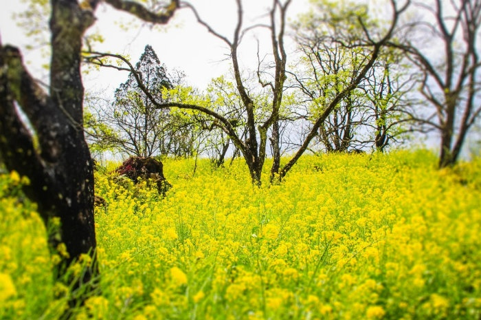 Hoa cải vàng ở Sapa