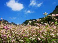 Rực rỡ mùa hoa tam giác mạch trên cao nguyên đá Hà Giang