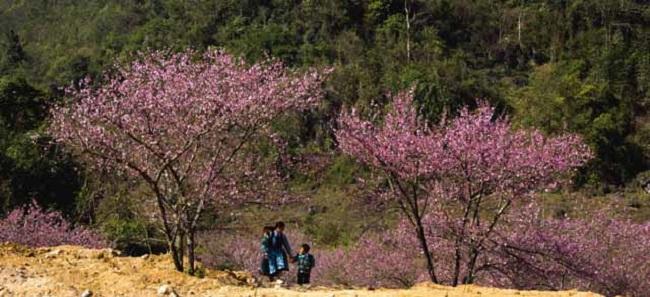 Mùa xuân ở Mộc Châu