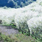 Sapa mùa hoa nở