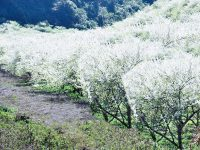 Hoa mận trắng tinh khôi